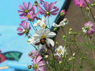コスモスと蜜蜂2012 1.JPG