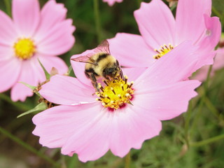 コスモスと蜜蜂 2012 2.JPG